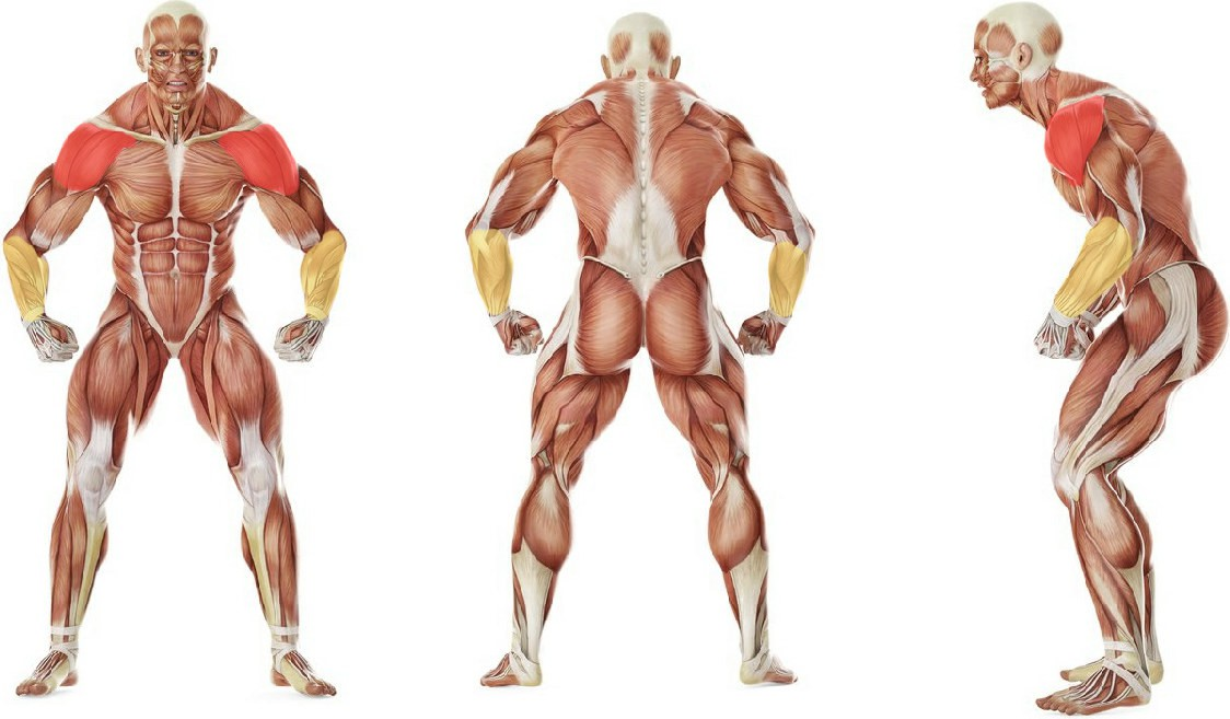What muscles work in the exercise Standing Low-Pulley Deltoid Raise
