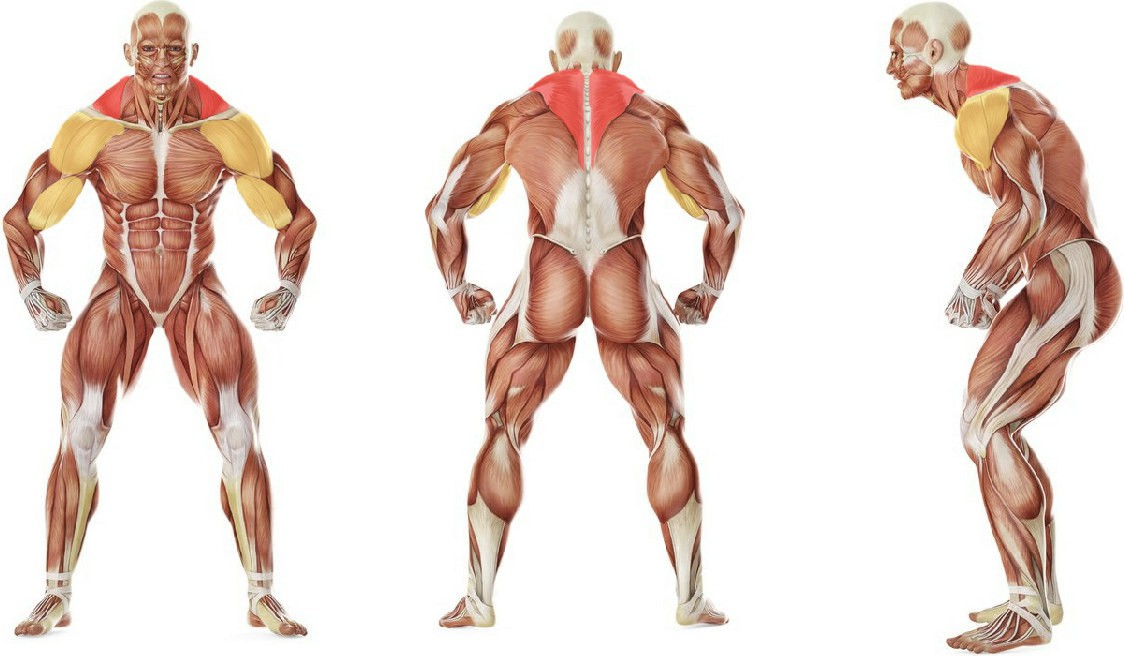 What muscles work in the exercise Standing Dumbbell Upright Row