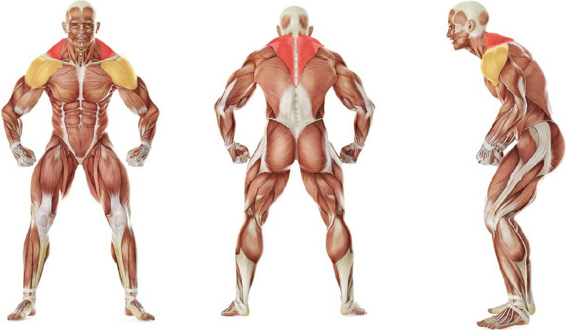 What muscles work in the exercise Upright Cable Row