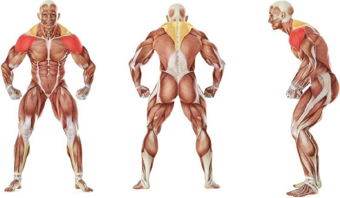 Какие мышцы работают в упражнении Вертикальная тяга штанги к груди стоя