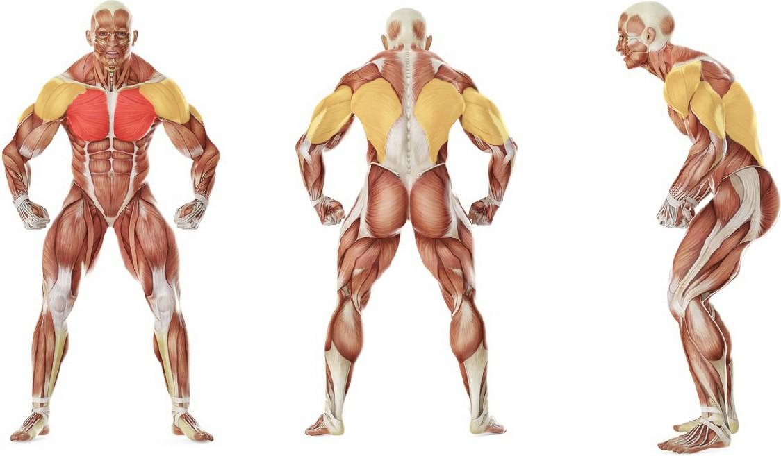 Какие мышцы работают в упражнении Пуловер со штангой на прямой скамье