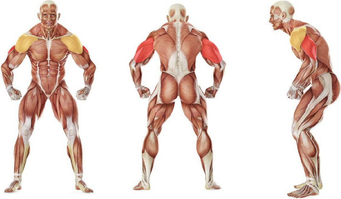What muscles work in the exercise Standing Bent-Over One-Arm Dumbbell Triceps Extension