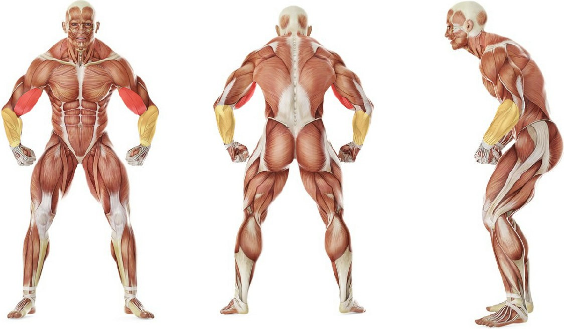Какие мышцы работают в упражнении Попеременный подъем гантелей на бицепс хватом «молоток»