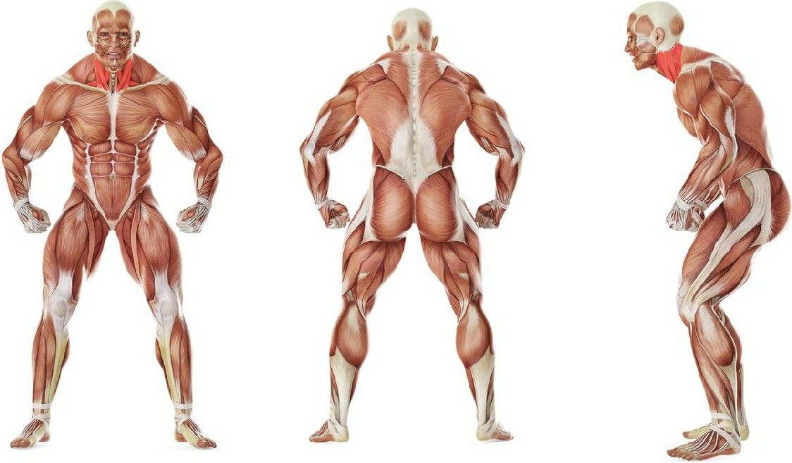 What muscles work in the exercise Side Neck Stretch