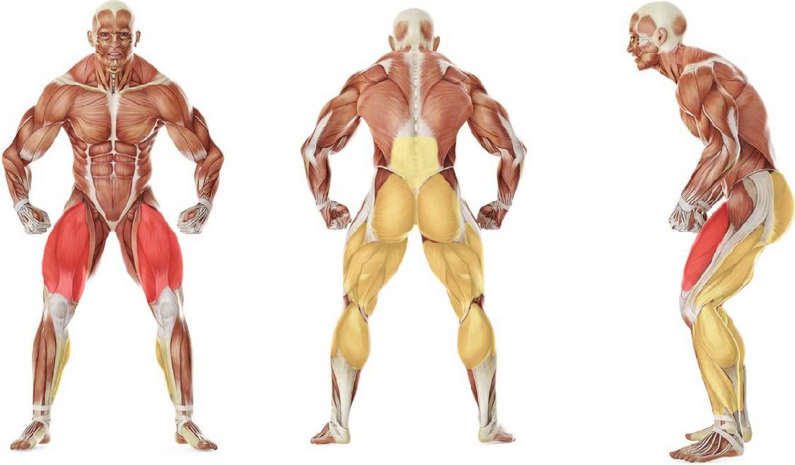 Какие мышцы работают в упражнении Приседания с гантелями используя скамью