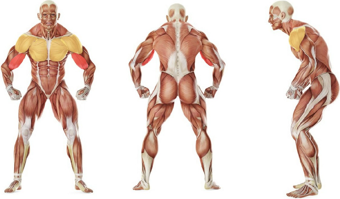 What muscles work in the exercise Standing Biceps Stretch