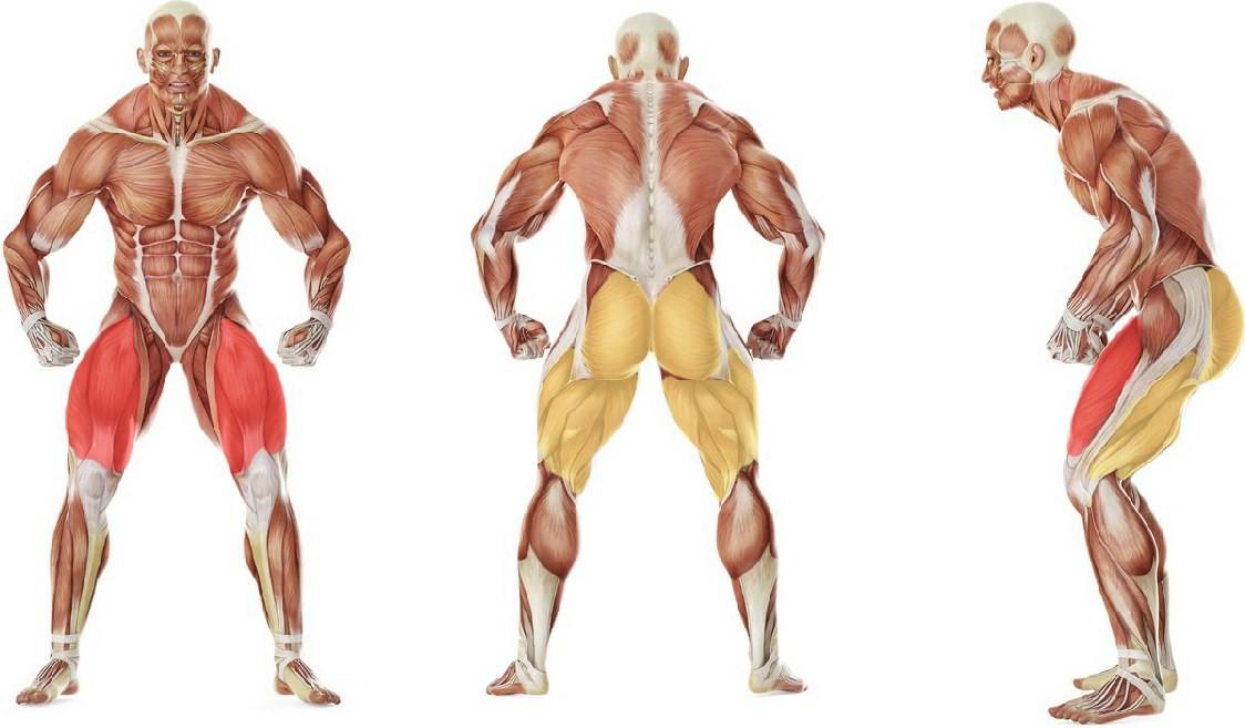 Какие мышцы работают в упражнении Приседания с собственным весом