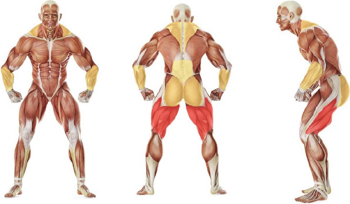 Какие мышцы работают в упражнении Румынская становая тяга (вариант 2)