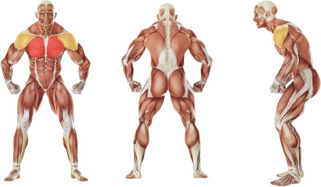 Какие мышцы работают в упражнении Сведение гантелей лежа на скамье с положительным наклоном