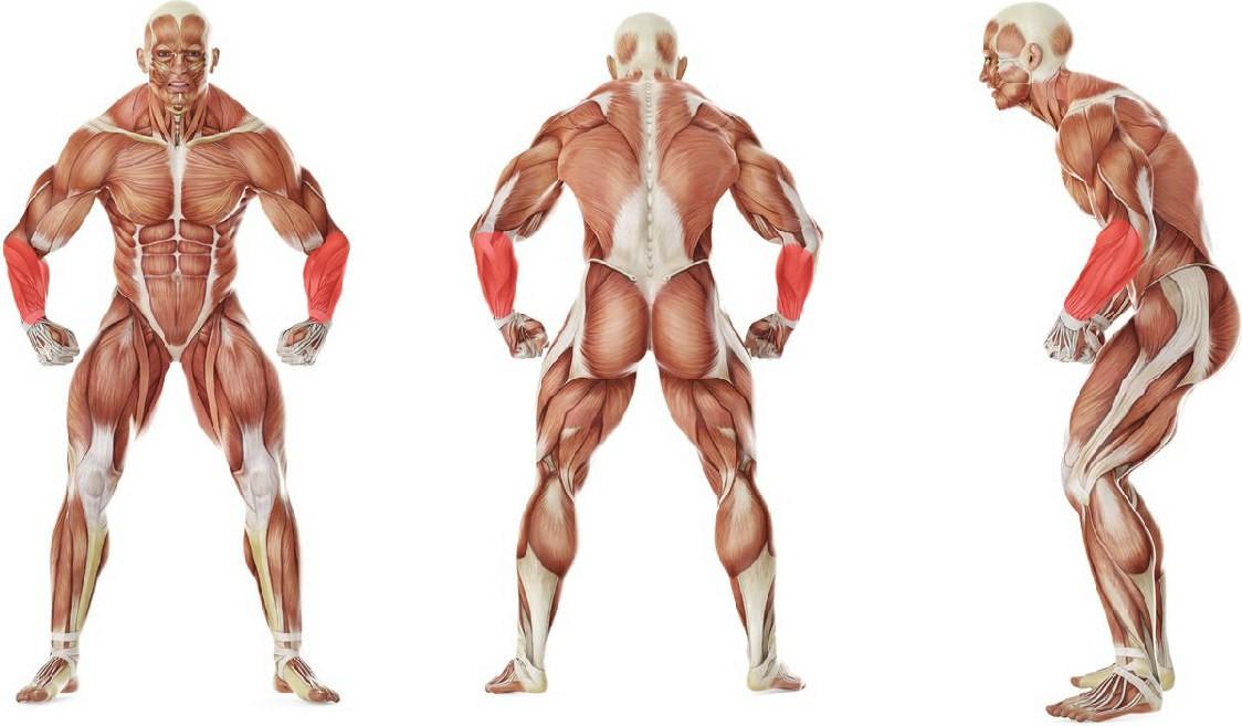 Какие мышцы работают в упражнении Сгибание запястий сидя на скамье с гантелями ладонями вниз
