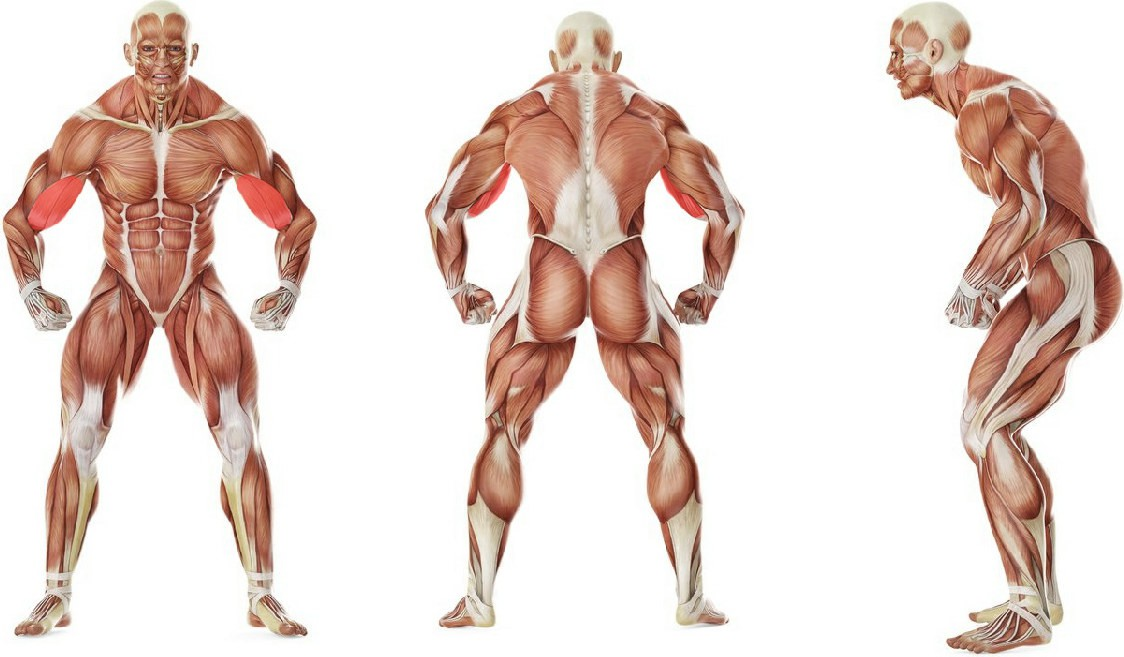 What muscles work in the exercise Lying High Bench Barbell Curl