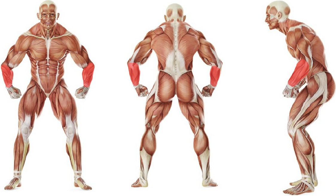 What muscles work in the exercise Standing Palms-Up Barbell Behind The Back Wrist Curl