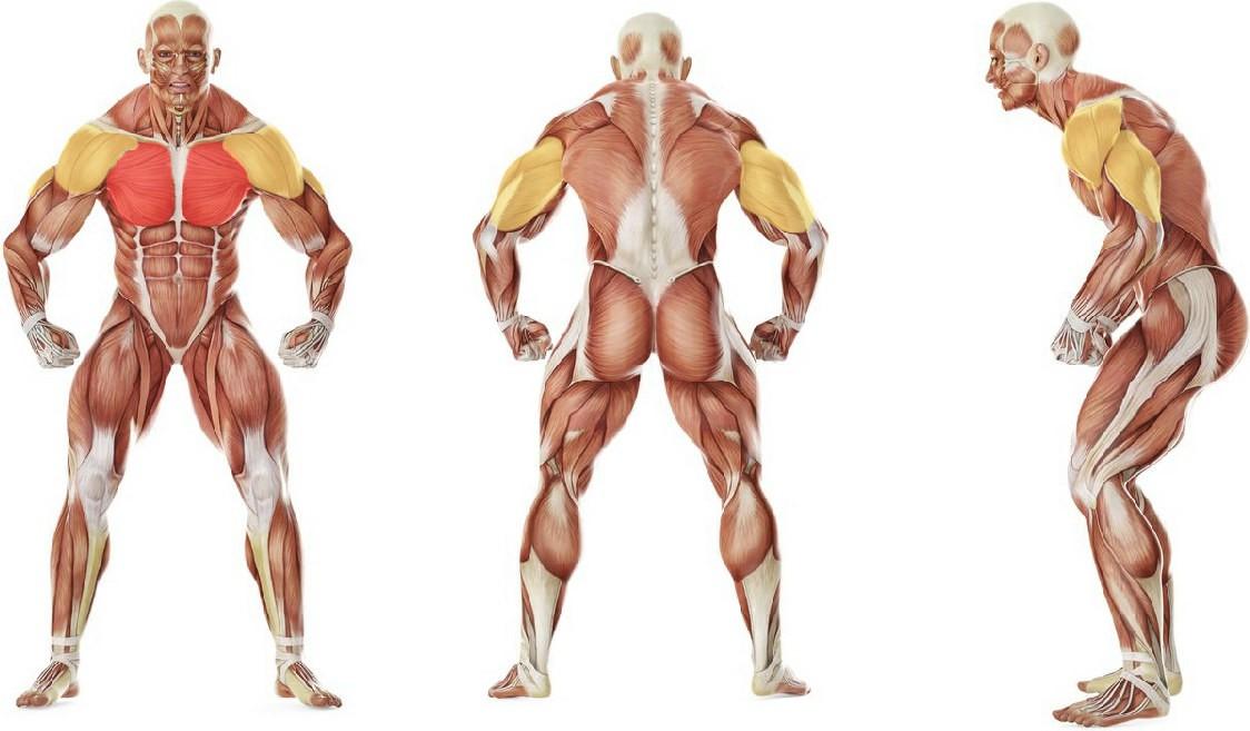 Какие мышцы работают в упражнении Жим лежа широким хватом