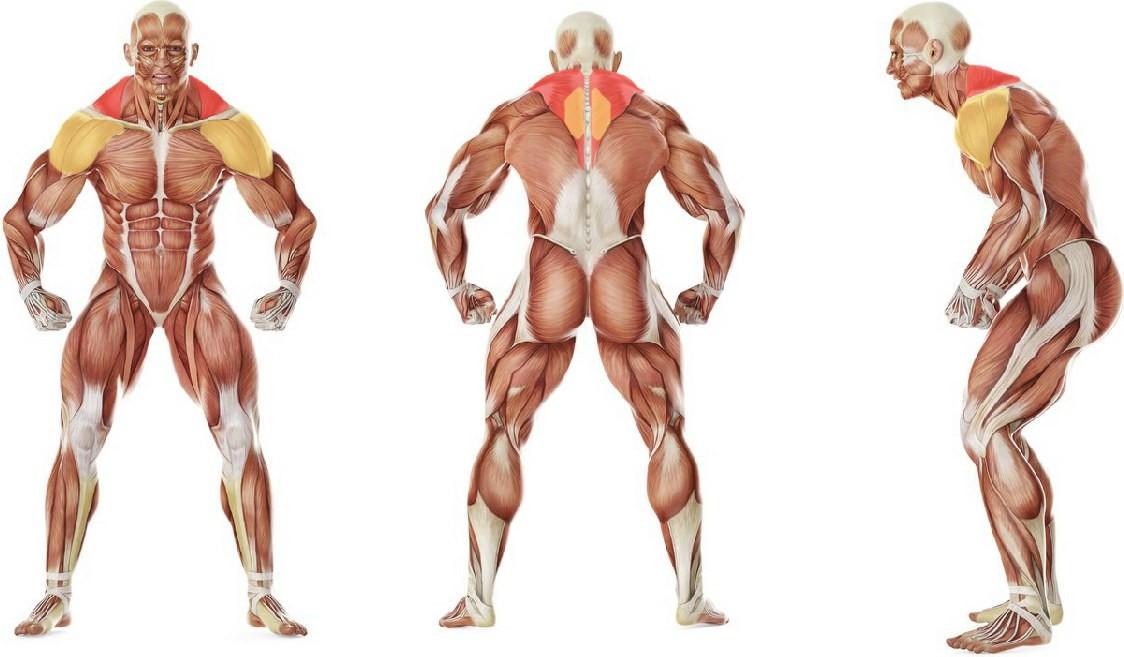 Какие мышцы работают в упражнении Шраги в машине Смита