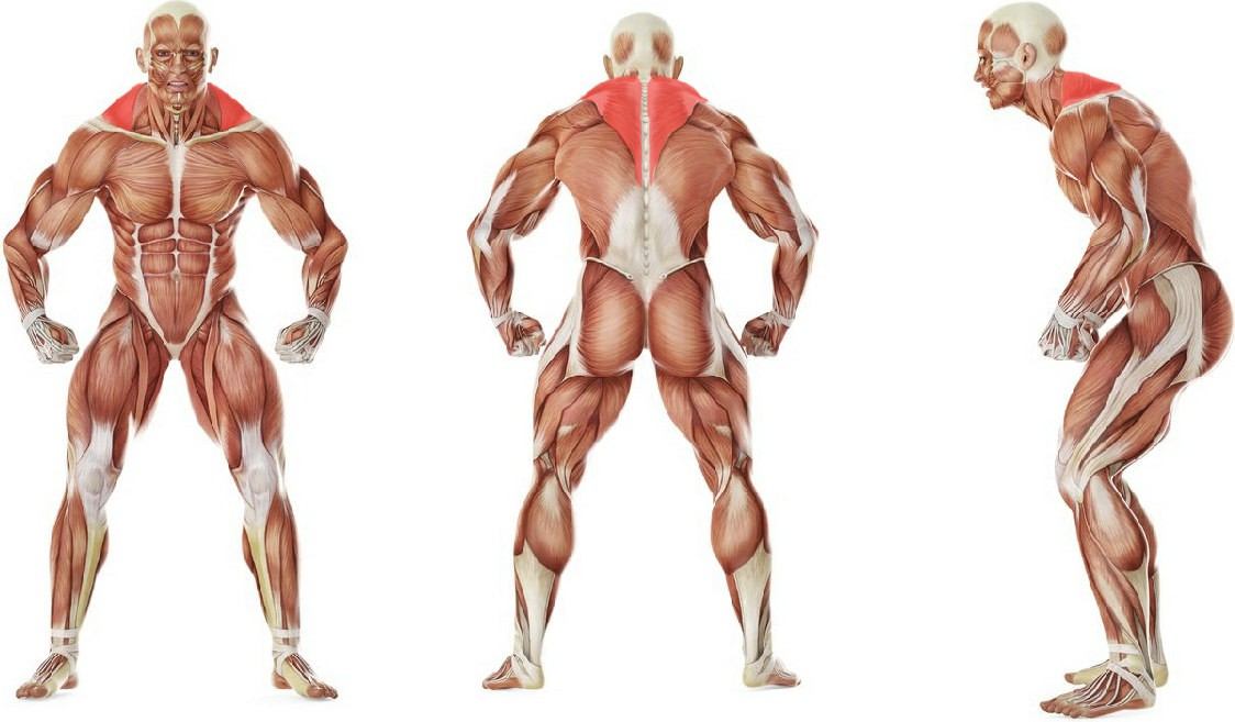 What muscles work in the exercise Barbell Shrug