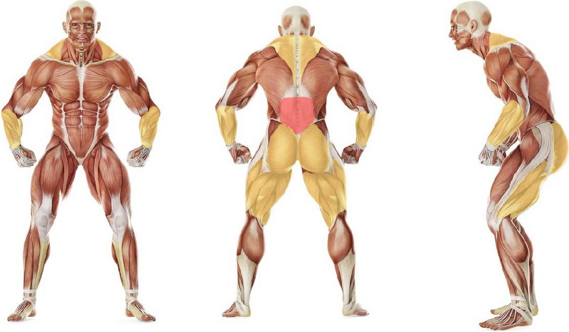 Какие мышцы работают в упражнении Тяга в силовой раме