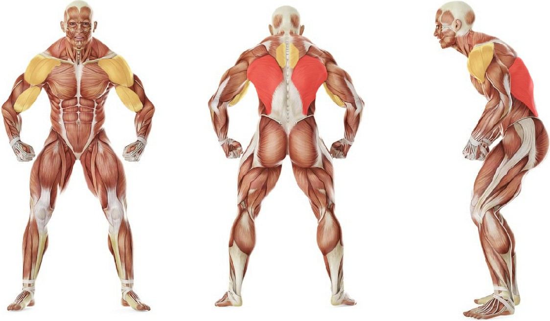 What muscles work in the exercise V-Bar Pulldown