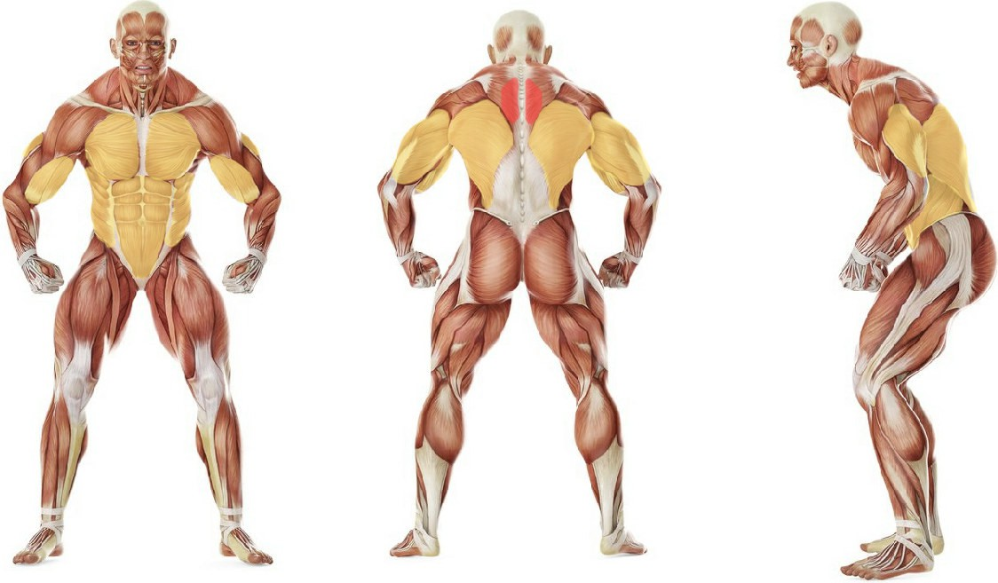 What muscles work in the exercise Alternating Renegade Row