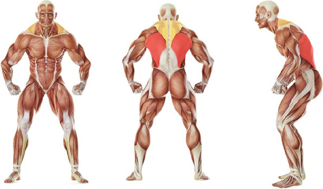 What muscles work in the exercise Elevated Cable Rows
