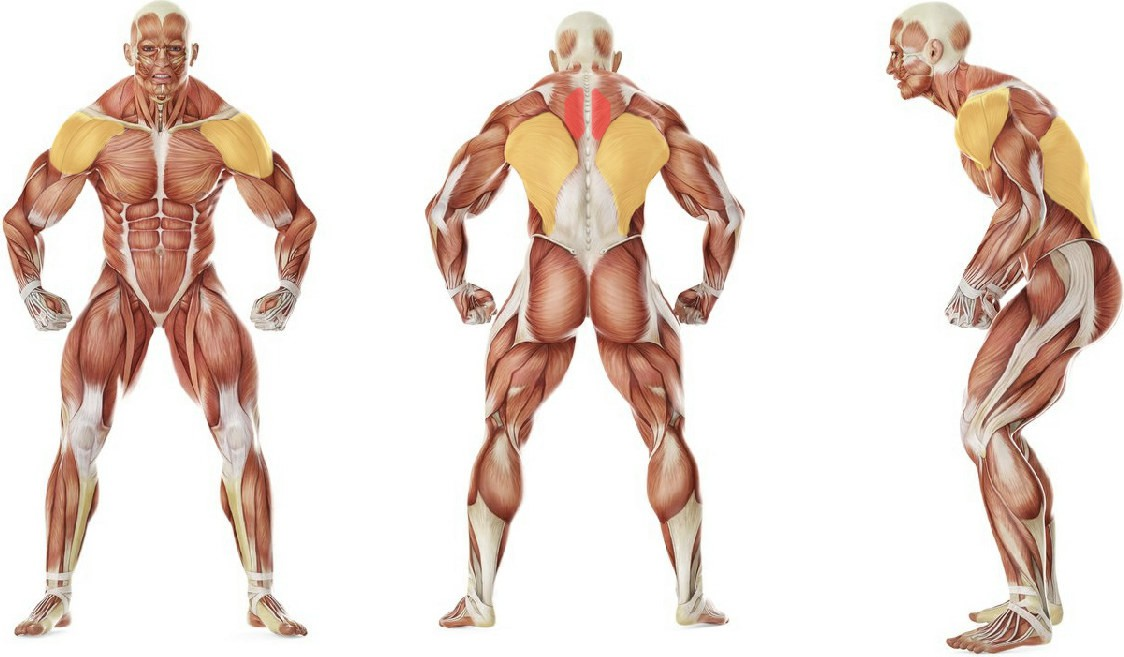 What muscles work in the exercise Incline Bench Pull
