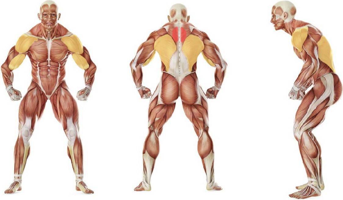 What muscles work in the exercise Bent Over Barbell Row