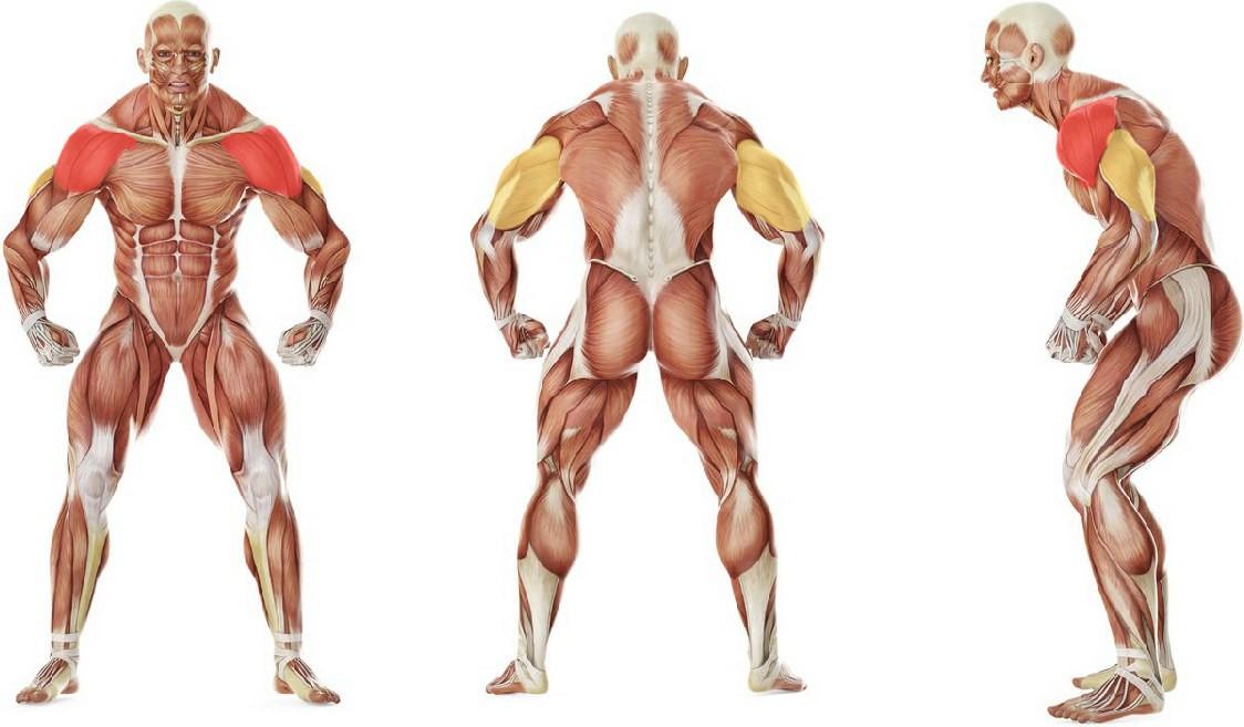 Какие мышцы работают в упражнении Жим штанги стоя из-за головы