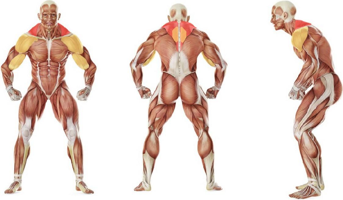 Какие мышцы работают в упражнении Тяга штанги к груди в машине Смита