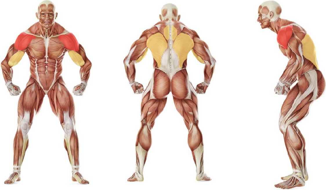 What muscles work in the exercise Barbell Rear Delt Row