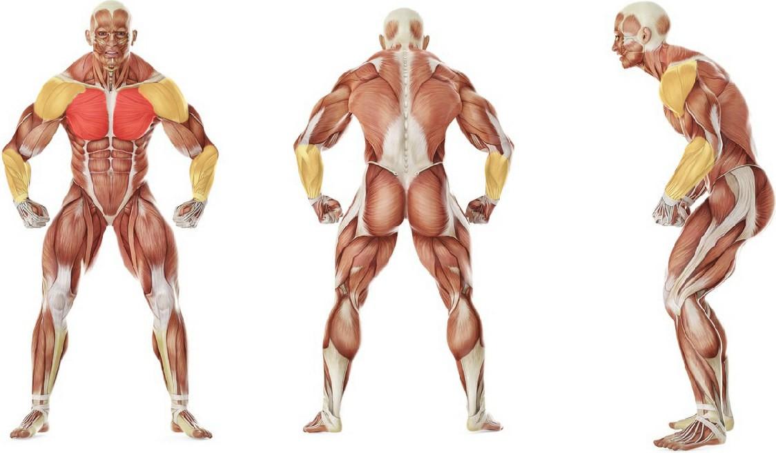Какие мышцы работают в упражнении Сухое плавание