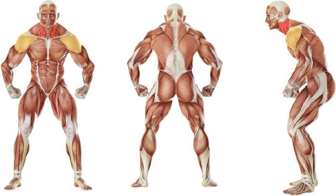 Какие мышцы работают в упражнении Накаты на переднем мосту