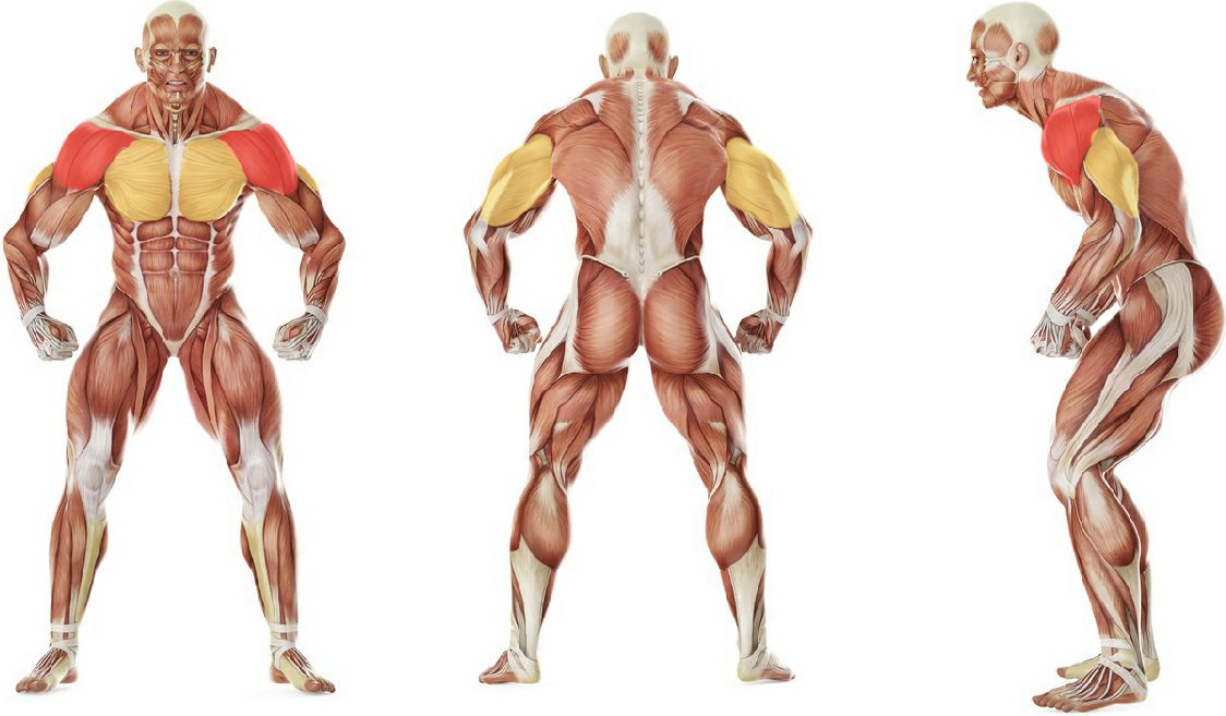 Какие мышцы работают в упражнении Жим штанги сидя широким хватом