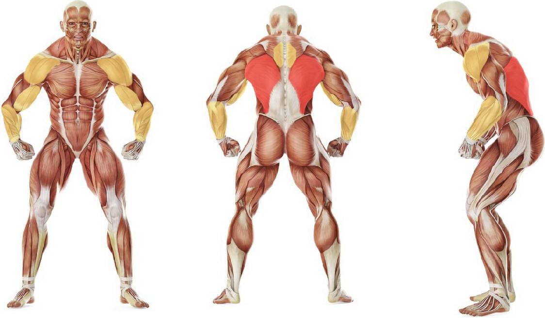 Какие мышцы работают в упражнении Подтягивания узким хватом