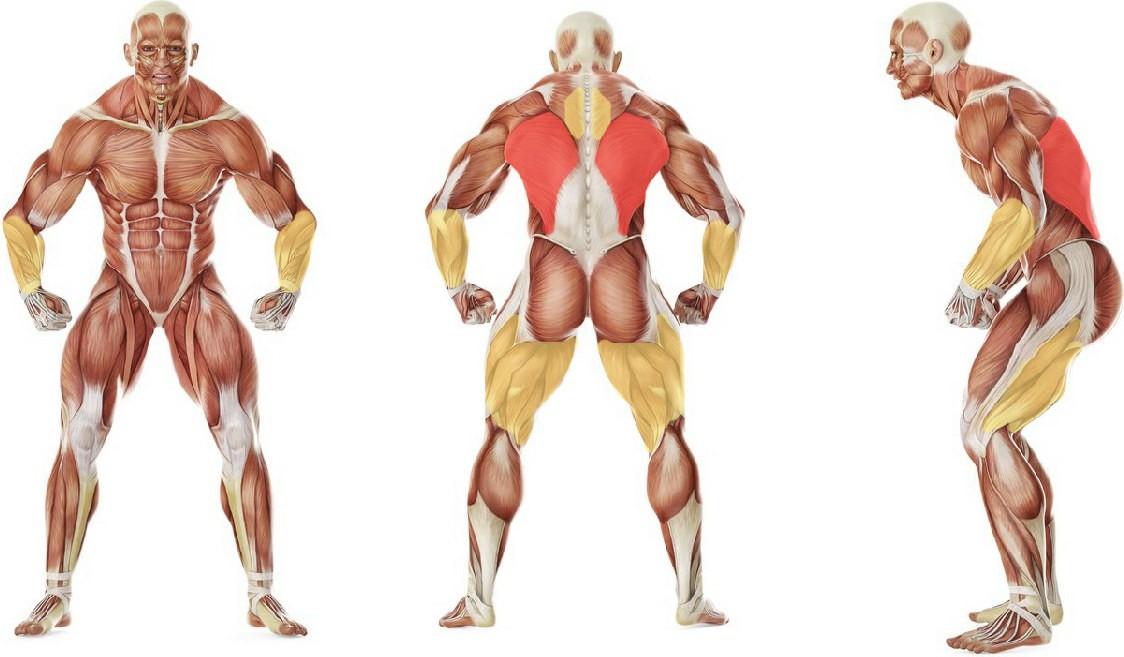 What muscles work in the exercise Негативные подтягивания