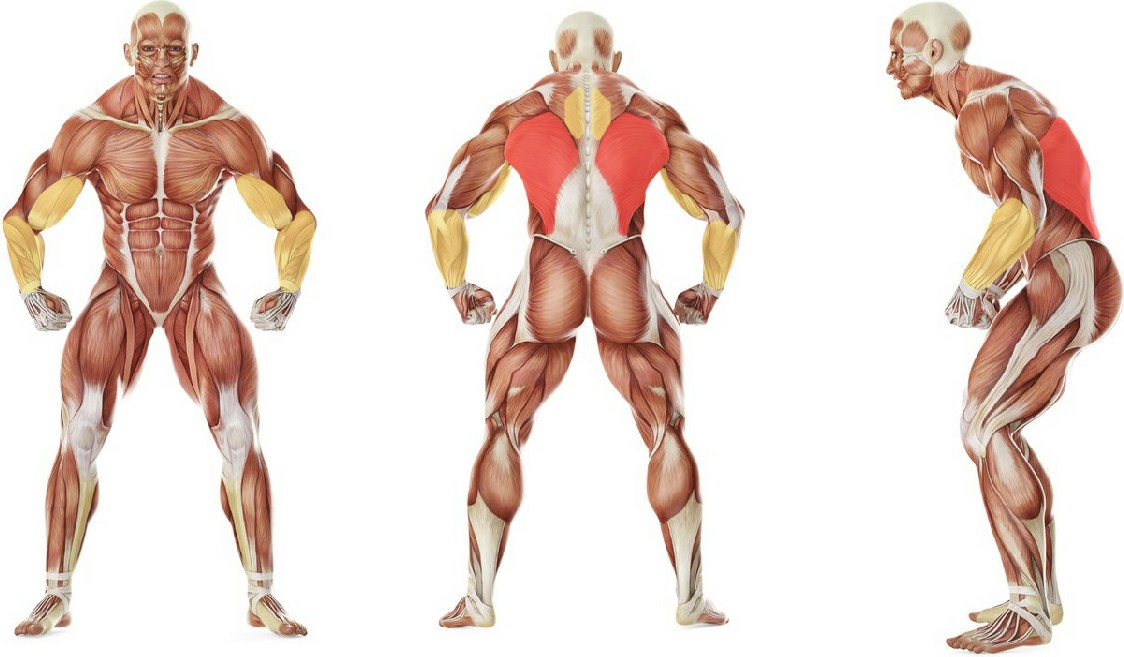 What muscles work in the exercise Австралийские подтягивания