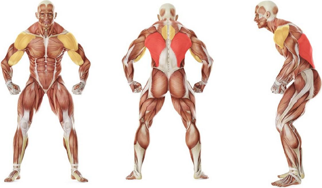 What muscles work in the exercise Подтягивания широким хватом к груди