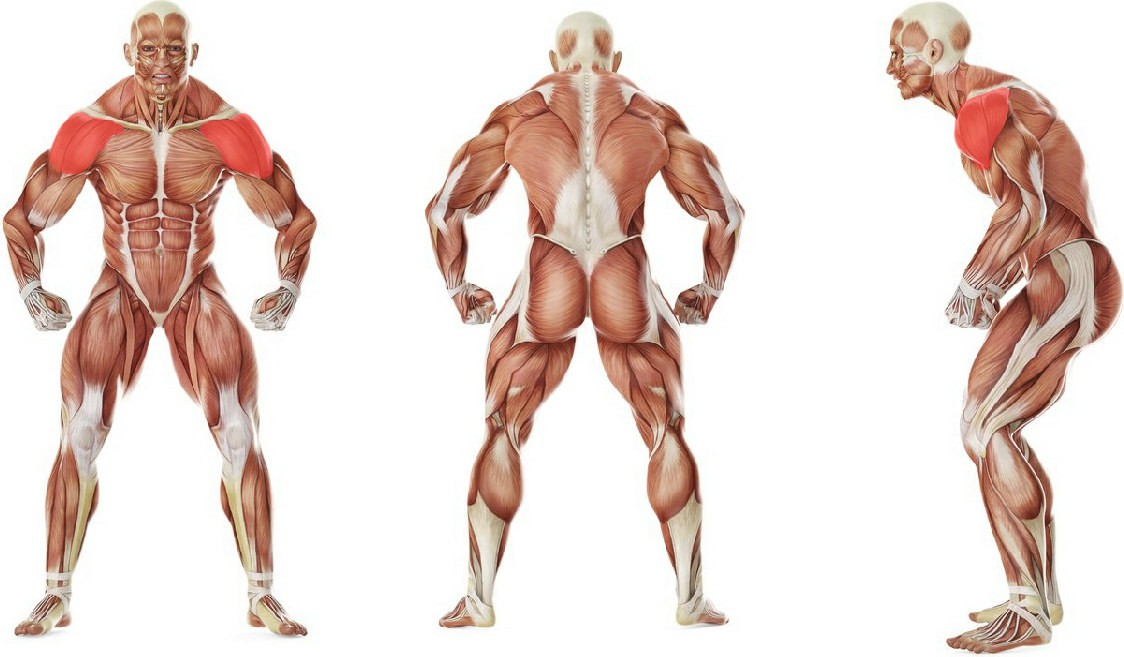 What muscles work in the exercise Разведение рук с гантелями в стороны в наклоне