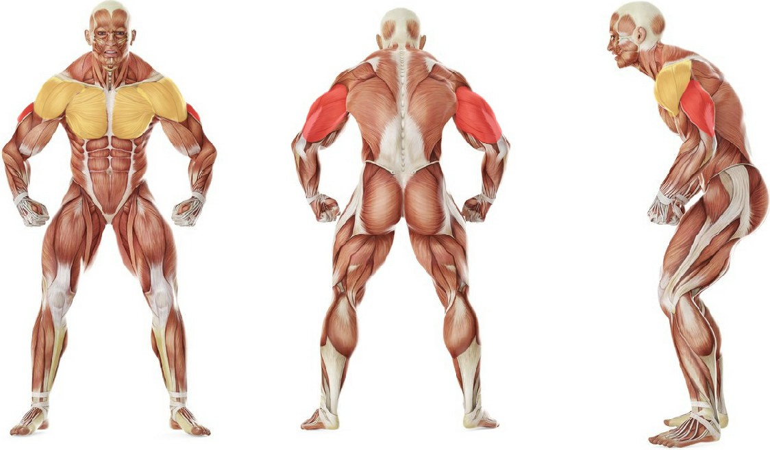 What muscles work in the exercise Обратные отжимания от пола