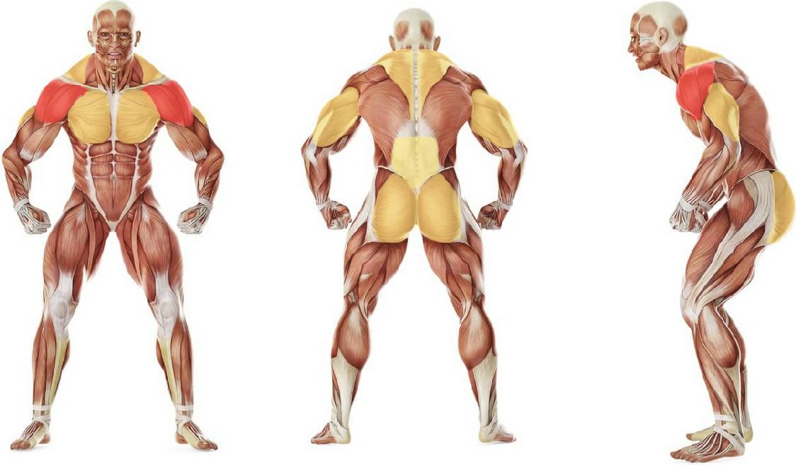 Какие мышцы работают в упражнении Комплексный жим гантелей