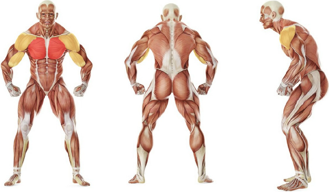 What muscles work in the exercise Cross Over - With Bands