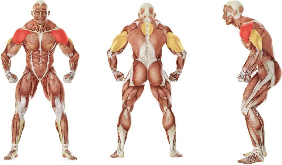 What muscles work in the exercise Back Flyes - With Bands